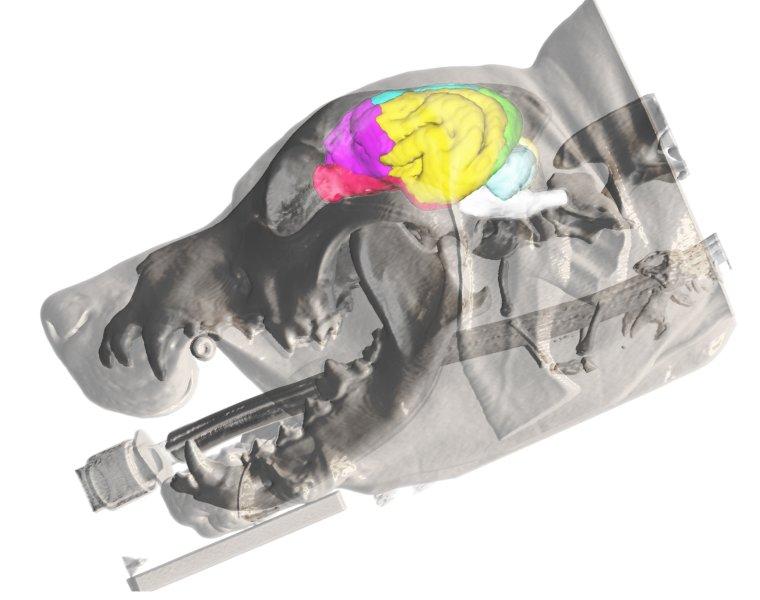 Lage verschiedener Gehirnareale im Hund: 3-Dimensionale Rekonstruktion der Haut und des Knochens aus dem MRT eines Beagles und die Projektion des Gehirnatlas
