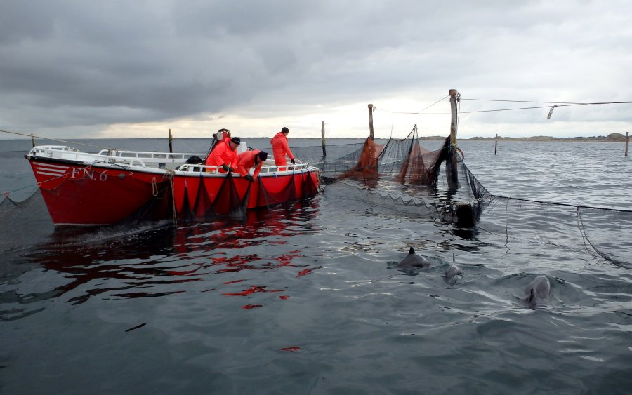 Um die Schweinswale mit Sendern auszustatten, mussten die Wissenschaftler sie fangen