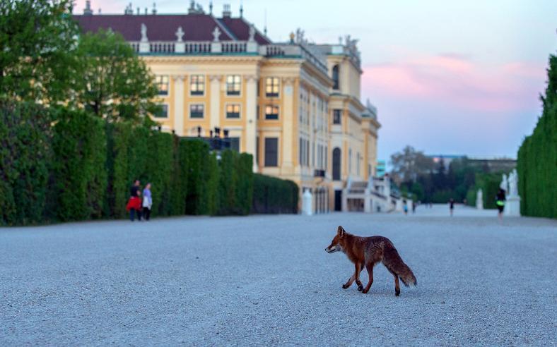 Fuchs im Schlosspark Schönbrunn