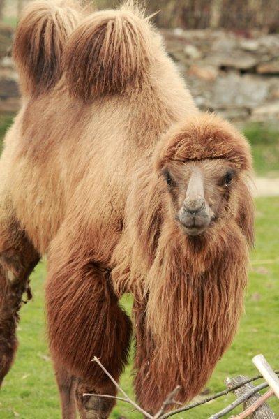 Kamel 'Mozart' (Camelus bactrianus)