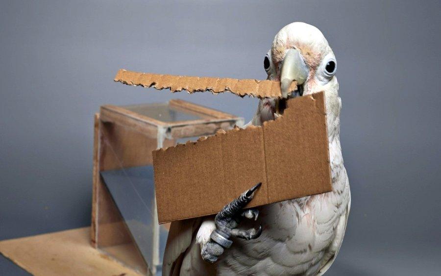 Aus einem Pappstück können sich die Kakadus ein längliches Hilfsmittel stanzen, um für sie unerreichbares Futter erreichen zu können