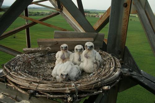Sakerfalken-Nachwuchs auf Strommast