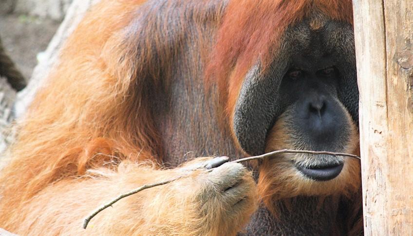 Männlicher Orang-Utan verwendet ein Astwerkzeug