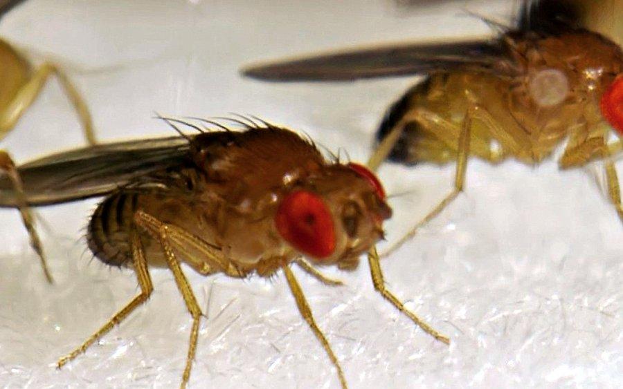 Die Fruchtfliege Drosophila diente den Forschenden als genetisches Studienobjekt