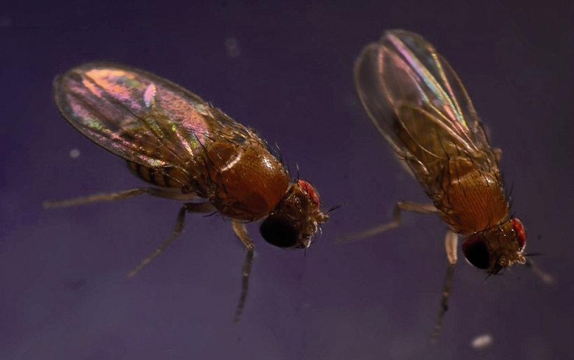 Dasselbe Transposon, das seit mehr als 60 Jahren in D. melanogaster vorhanden ist, fanden Forschende nun auch in D. simulans