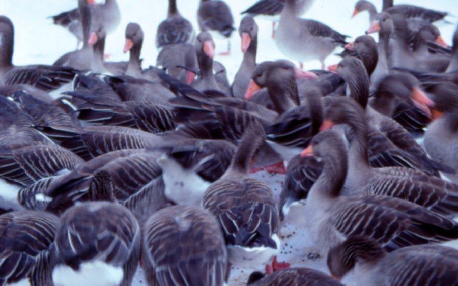 Graugänse, hier bei der Winterfütterung, sind Tiere mit komplexem Sozialleben
