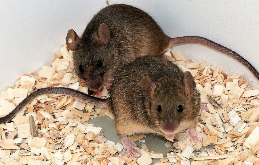 Die Duftmarken dominanter Mäuseriche wirkt anziehender auf weibliche Hausmäuse, als der von untergeordneten Männchen