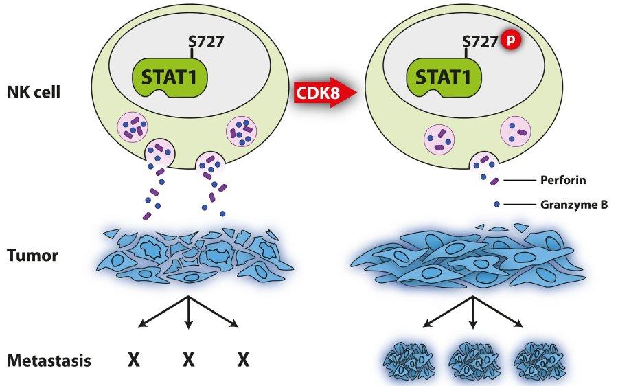 Schematische Darstellung der Hemmung von NK Zellen durch CDK8-vermittelte STAT1-Serin727 Phosphorylierung