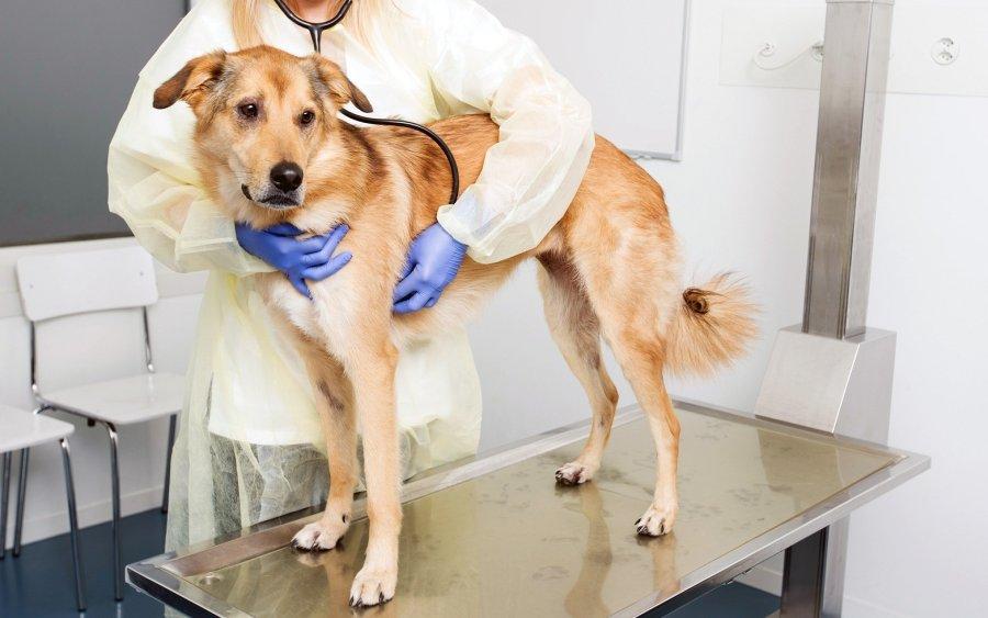 Hunde mit Mammatumoren helfen bei der Erforschung von Brustkrebs bei Menschen