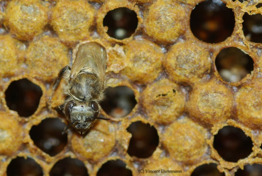 Schlüpfende Honigbiene auf der Wachszelle, worin sie sich zuvor entwickelt hat