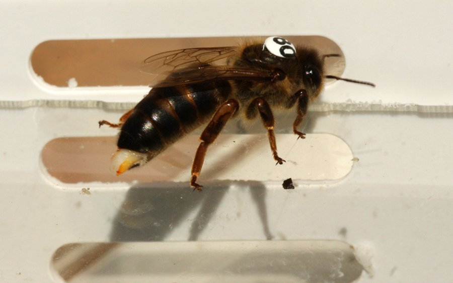 Eine Bienenkönigin, die während des Experiments von einem Paarungsflug zurückgekehrt ist. Die Überreste des Begattungsorganes eines Drohns verschliessen den Eingang zum Fortpflanzungstrakt am Hinterleib der Königin