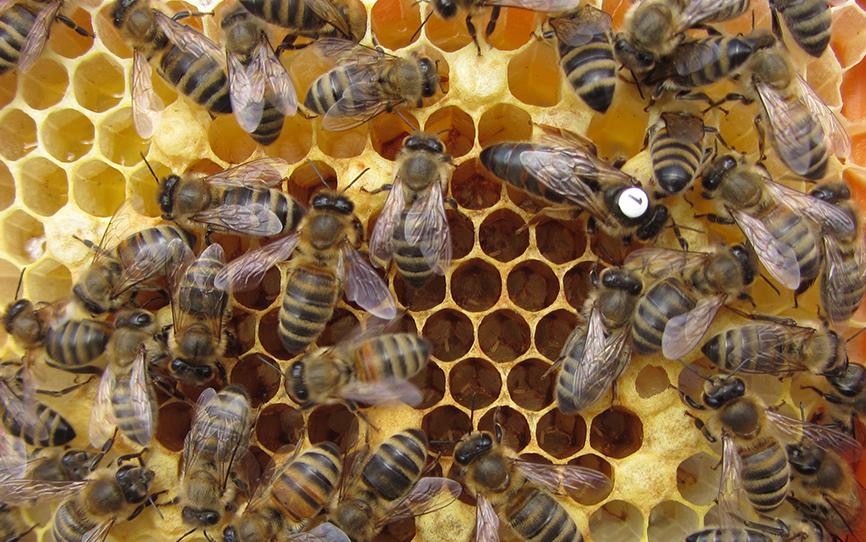 Eine markierte Bienenkönigin, die im Rahmen der Studie untersucht wurde. Sie befindet sich gemeinsam mit Arbeiterinnen auf einer Wachswabe, welche sowohl verdeckelte Zellen mit sich darin entwickelnden Arbeiterinnen enthält, als auch offene Zell