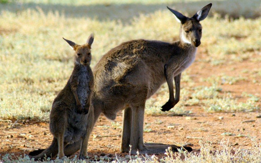 Kängurus produzieren bei der Verdauung Methan