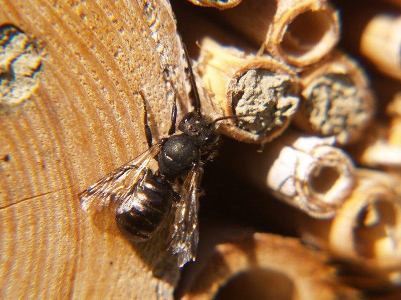 Markhaltige Stängel sind willkommene Nistplätze für viele Wildbienenarten