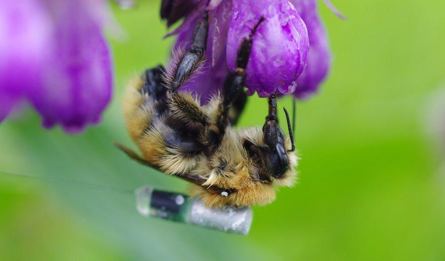 Mooshummel an Blüte mit Peilsender, der bei der Nachverfolgung helfen soll