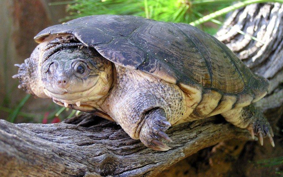 Die 'echte' Pelomedusa subrufa bleibt mit einer Panzerlänge von meist unter 14 cm relativ klein und ist ein Überlebenskünstler: Sie kann Trockenzeiten bis zu 6 Jahre lang vergraben überstehen.
