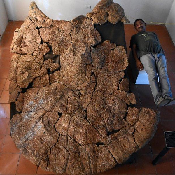 Der venezolanische Paläontologe Rodolfo Sánchez neben dem Panzer eines Stupendemys geographicus Männchens, gefunden in 8 Millionen Jahre alten Ablagerungen in Venezuela.