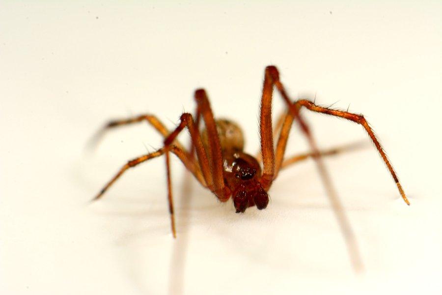 Ein ausgewachsenes Männchen der Gewächshausspinne (Parasteatoda tepidariorum). Die beiden dunklen birnenförmigen Anhänge am Kopf sind die Begattungsorgane.