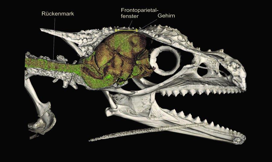 Ein Micro-CT-Scan von Calumma gehringi offenbart ein großes Loch im Schädel direkt über dem Gehirn, das sogenannte das Frontoparietalfenster, das bei vielen bergbewohnenden Chamäleons entdeckt wurde.