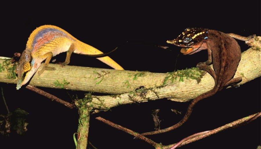 Wirbt ein Männchen von Calumma uetzi (li.) mit bunter Prachtfärbung um ein paarungsunwilliges Weibchen (re.), verdunkelt sich dieses, zeigt bunte Muster auf dem Kopf und droht mit aufgerissenem Maul