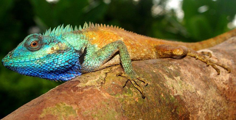Die Männchen der neu entdeckten Tierart sind dank ihrer leuchtend blauen Kopffärbung im vietnamesischen Regenwald schon von weitem zu sehen