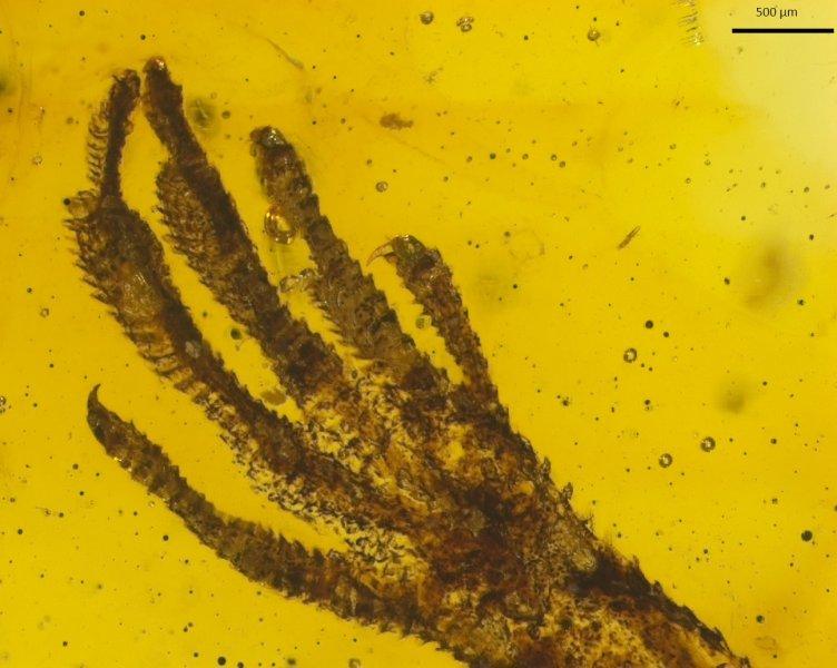Ungewöhnlichen Fund: Ein winziger Eidechsen-Vorderfuß der Gattung Anolis ist im rund 15 bis 20 Millionen Jahre alten Bernstein eingeschlossen.