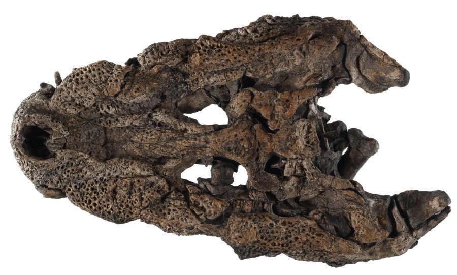 Gut erhaltener Schädel von Orientalosuchus naduongensis.