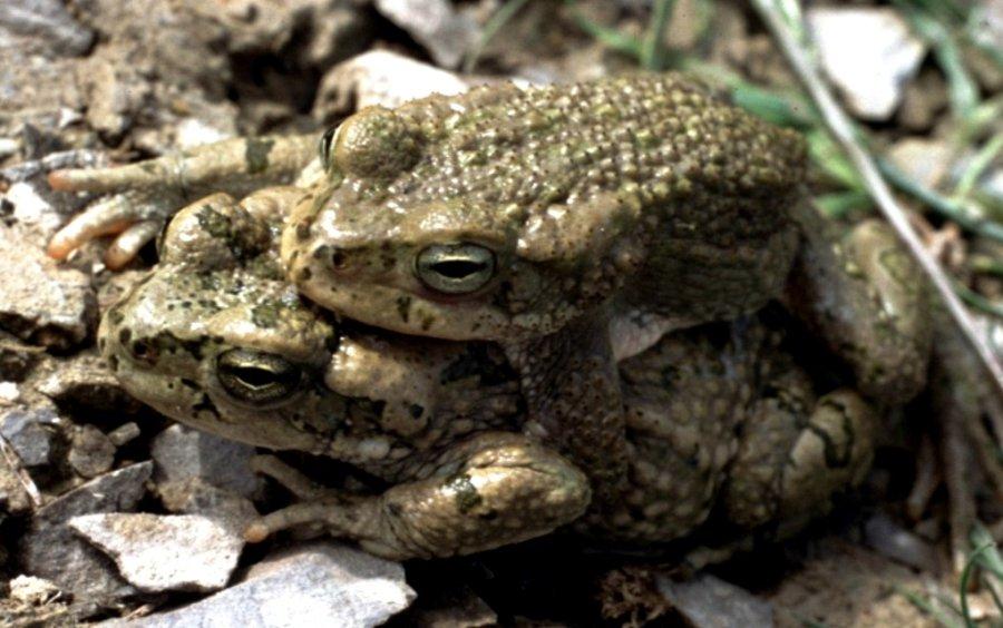 Tetraploide Kröten (Bufo oblongus) aus Turkmenistan in Zentralasien: Die Tiere kommen sogar mit extremen Lebensbedingungen in Halbwüsten und steinigen Wüsten aus, sofern es dort temporäre Wasserstellen gibt