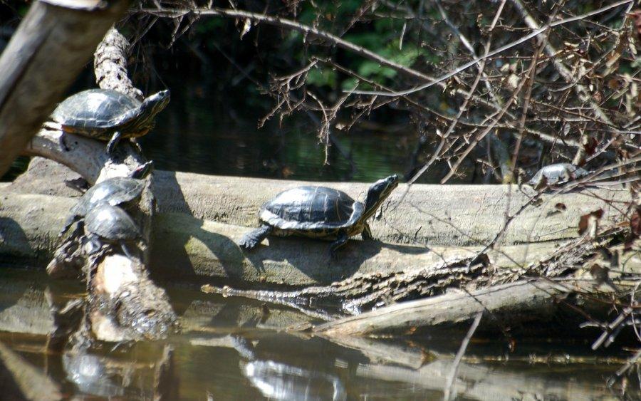 Die invasiven Rotwangenschmuck-Schildkröten beim Sonnenbad.