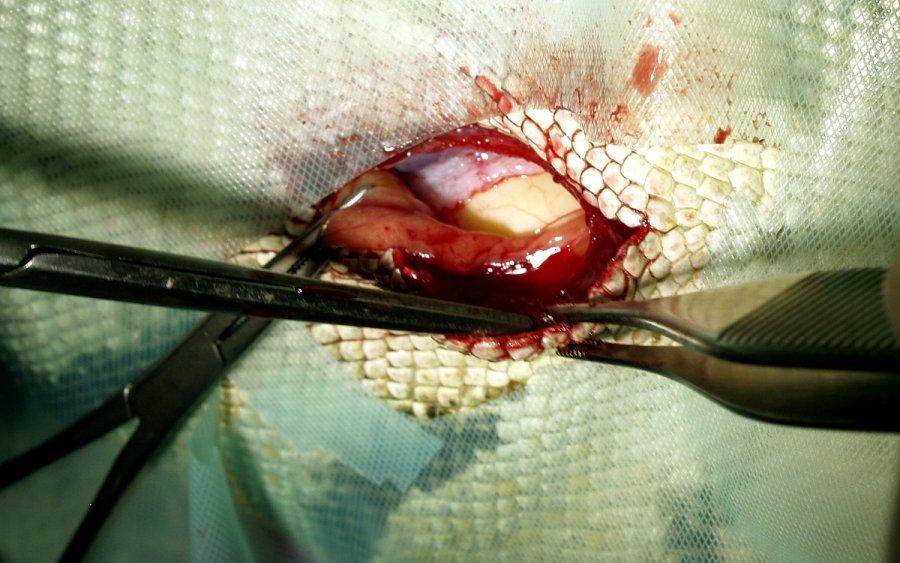 Post- und präovulatorische Legenot mit Dottercoelomitis beim Grünen Leguan