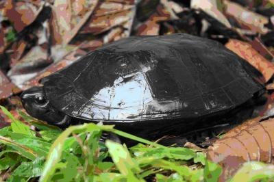 Dickhalsschildkröte (Siebenrockiella crassicollis)