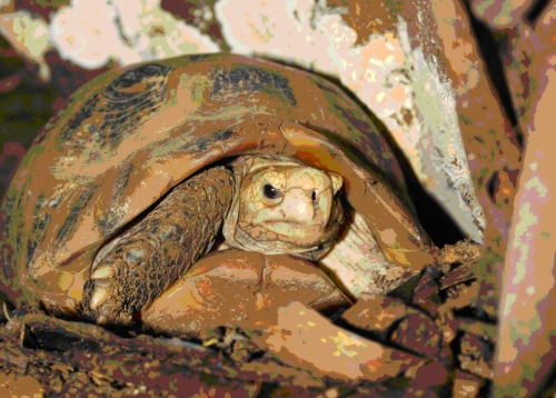 Gelbkopf-Landschildkröte (Indotestudo elongata)