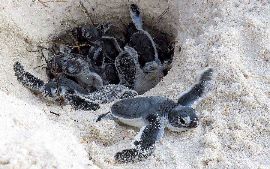 Schildkröten in Gefahr: Verhalten am Niststrand