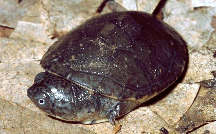 Die westafrikanische Klappbrustschildkröte Pelusios castaneus bekam durch einen wissenschaftlichen Fehler einen 'ausgestorbenen Doppelgänger' von den Seychellen