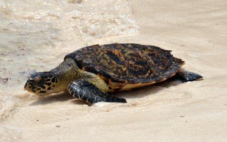 Schildpatt für Touristen: Echte Karettschildkröte ist akut vom ...