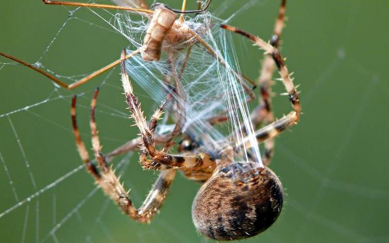 Eine Gartenkreuzspinne zieht mit den Beinen Spinnenfäden aus den Spinnwarzen an ihrem Hinterleib heraus. Spinnenfäden haben so spannende Eigenschaften, dass man sie gerne technisch nachbauen würde