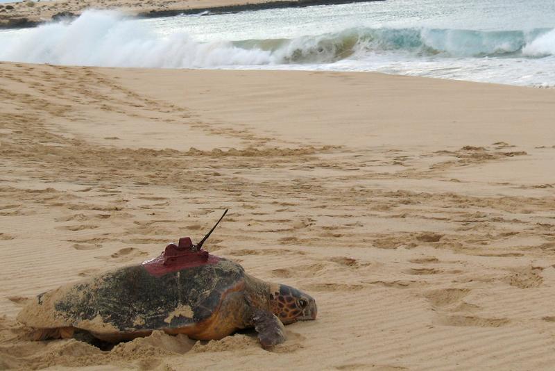 Eine mit einem Sender bestückte Unechte Karettschildkröte auf dem Rückweg ins Meer