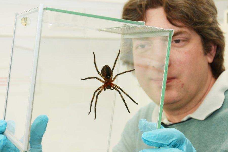 Um herauszufinden, warum sich die Jagdspinne Cupiennius salei so gut an senkrechten Oberflächen halten kann, untersucht das interdisziplinäre Forschungsteam winzige Hafthaare auf den Spinnenbeinen