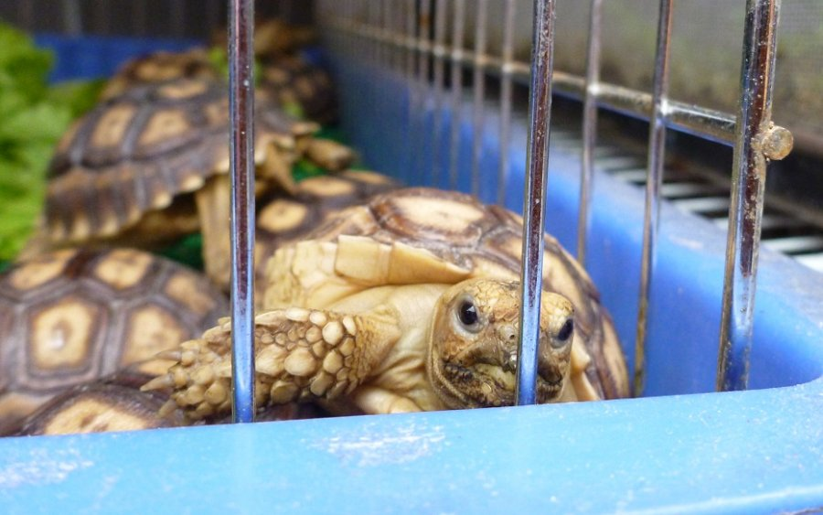 Young African Spurred Tortoise for sale