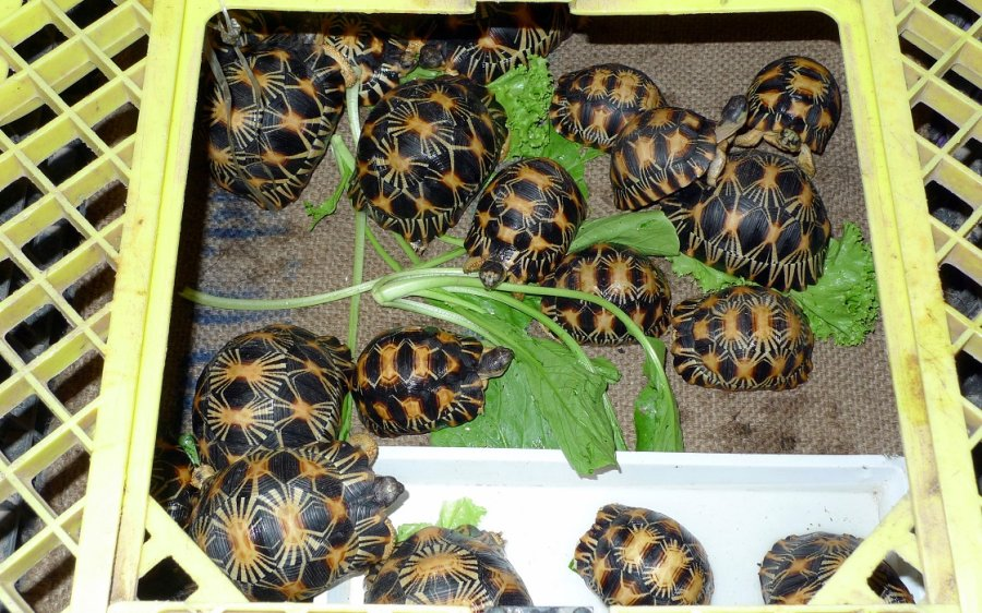 Radiated Tortoises on display