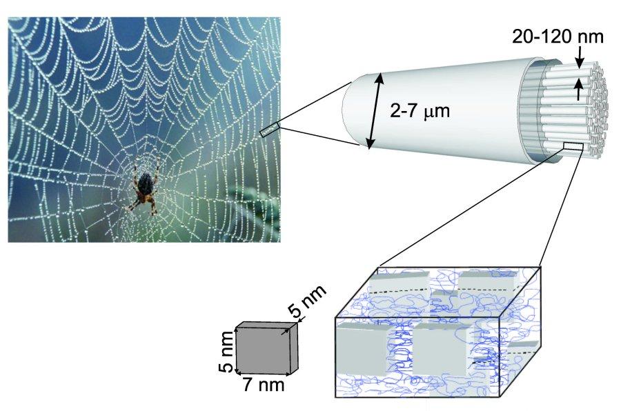 Zart und zäh zugleich: Spinnenseide. Raffinierte Hierarchie und Ordnung auf verschiedensten Längenskalen