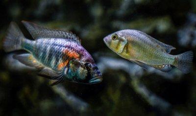 Beiträge zur Fischkunde, Aquaristik und Teichwirtschaft