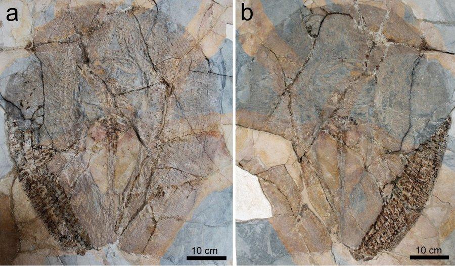 Eines der drei Fossilien von Lessiniabatis aenigmatica (MNHN F.Bol.566) aus der berühmten Fossilfundstelle von Monte Bolca (Italien), das als Platte und Gegenplatte erhalten ist. Das Exemplar befindet sich im Museum National d´Histoire Naturell