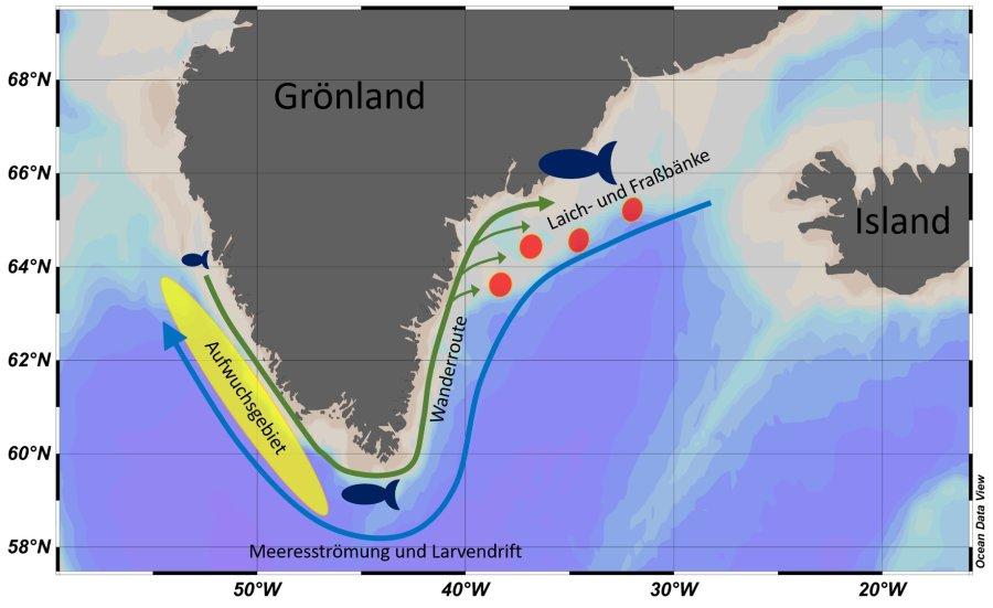 Karte von Grönland mit Wanderungsbewegungen des Kabeljaus. Rot: Unterwasserbänke an der Ostküste