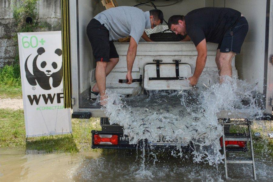 WWF lässt 25.000 junge Störe in der Unteren Donau frei