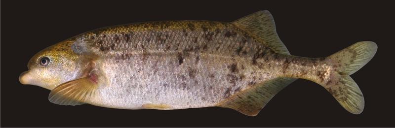 Exemplar eines Bulldog-Fisches aus dem Okavango (Marcusenius altisambesi; lebend; im Aquarium in Regensburg). Die Art wurde 2007 von Regensburger Zoologen entdeckt.