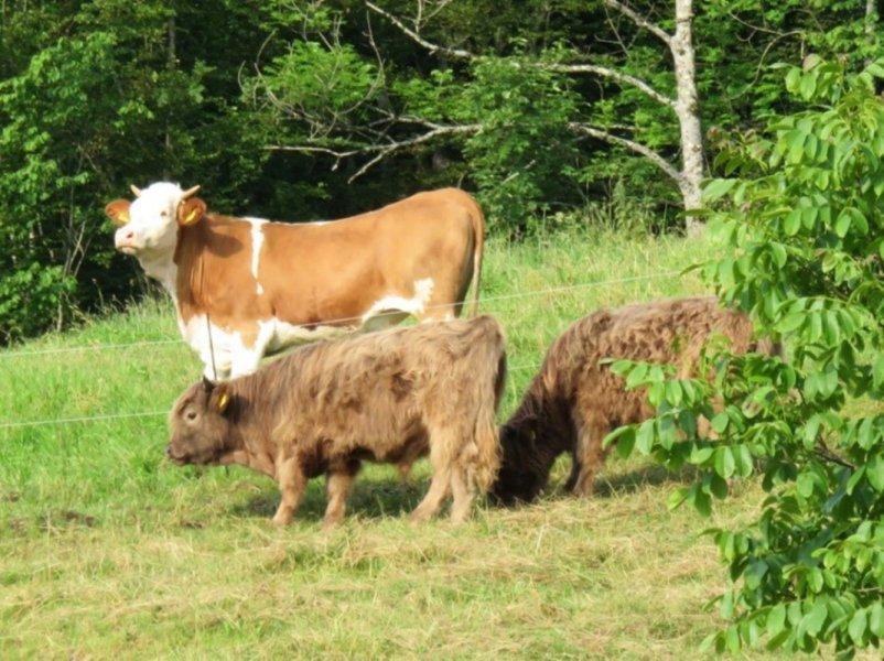 Produktionsorientierte Rinderrassen (hinten) und Hochlandrinder zeigen unterschiedliche Futtervorlieben.