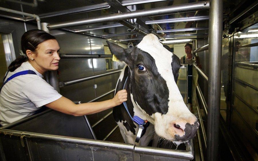 FBN-Mitarbeiterin Tanja Lenke bereitet eine Kuh für eine Untersuchung in der Respirationskammer vor