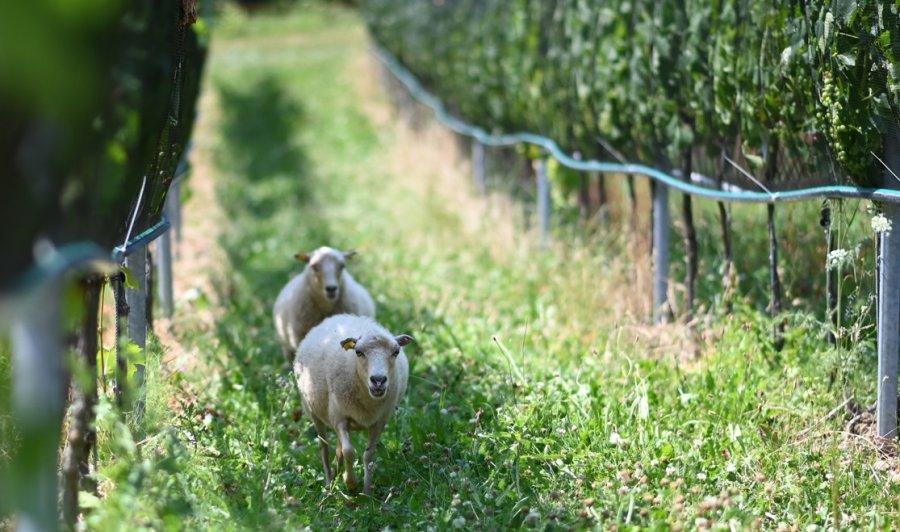 Schafe im Weingarten