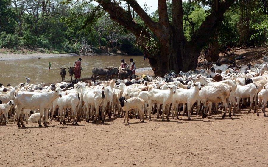 Wiederkäuer, wie diese Ziegen in Kenia, sind für den größten Teil der Methan-Emissionen aus der Landwirtschaft verantwortlich.